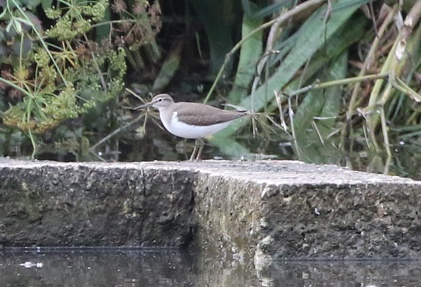 Common Sandpiper, Cockley Cley, 11th August