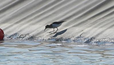 Common Sandpiper, Narborough, 21st April