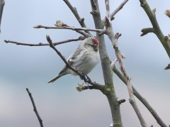 Coues's Arctic Redpoll, Cockley Cley 7th April