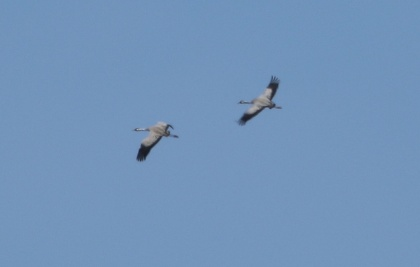 Crane, Potter Heigham 1st April