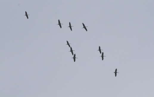 Cranes, Eldernell, Cambs, 5th May