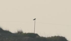 Cuckoo, Burnham Overy Dunes, 19th April