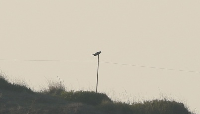Cuckoo, Burnham Overy Dunes, 19th April