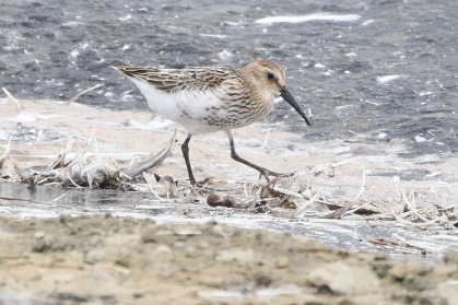 Dunlin, Cockley Cley, 11th August