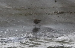 Dunlin, Cockley Cley 4th May