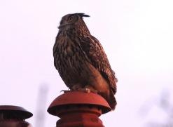 Eagle Owl, Winterton