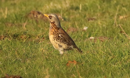 Fieldfare, Cockley Cley 21st April