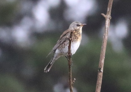 Fieldfare, East Hills, 5th November