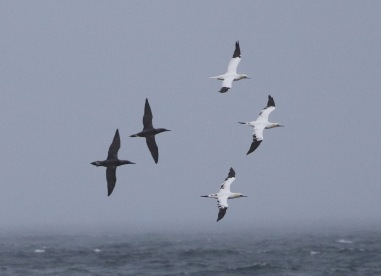 Gannets, Cley, 5th November