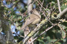 Garden Warbler, North Point, 8th September
