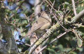Garden Warbler, North Point, 8th September