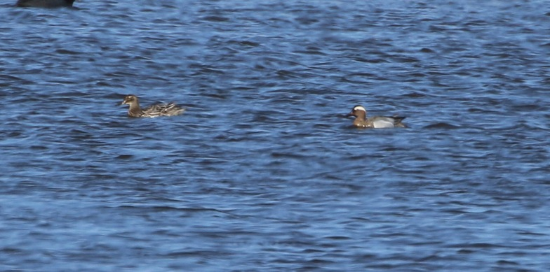 Garganey, Potter Heigham 1st April