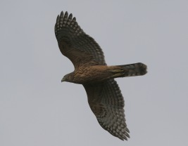 Goshawk, Cockley Cley, 11th August