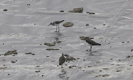 Greenshank, Cockley Cley, 11th August