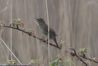 Grasshopper Warbler, Burnham Overy Dunes 18th May