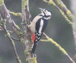 Greater spotted Woodpecker, East Hills, 5th November