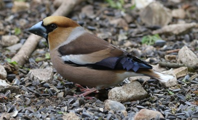 Hawfinch, 6th May