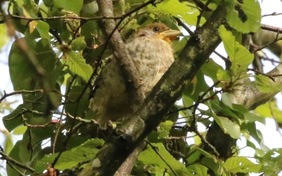 Juvenile Hawfinch 5th May
