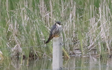 Hobby, Eldernell, Cambs, 5th May