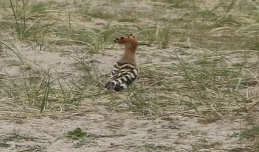 Hoopoe, Winterton 6th April