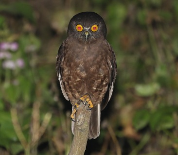 Humes Hawk Owl