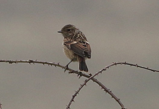 Stonechat, Burnham Overy Dunes 18th May