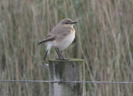 Isabelline Wheatear, Salthouse, 13th November
