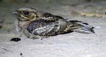 Jerdon's Nightjar
