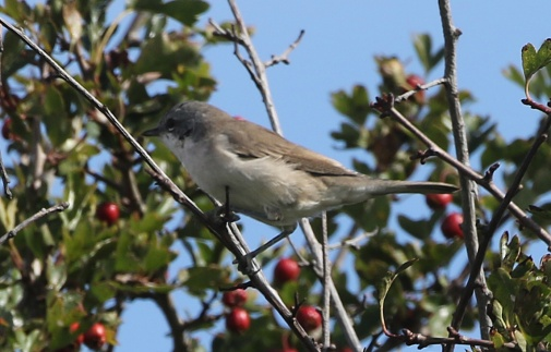 Lesser Whitethroat, North Point, 8th September