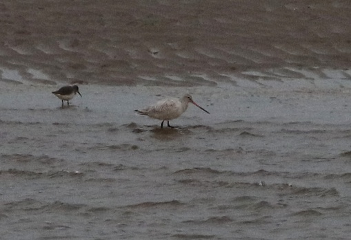 Bar-tailed Godwit, Burnham Overy Dunes