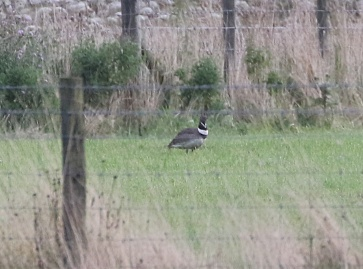 Little Bustard, Mickletown Ings, Yorkshire, 10th August