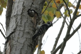 Lesser-spotted Woodpecker, 6th May