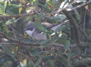 Lesser Whitethroat, Burnham Overy Dunes, 14th September