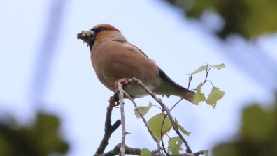 Hawfinch 5th May
