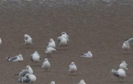 Mediterranean Gull, Burnham Overy