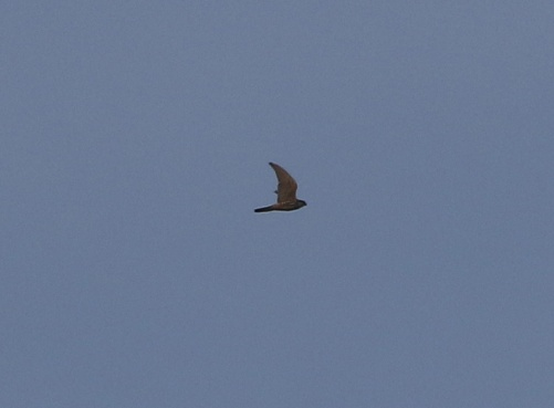 Merlin, Salthouse, 13th November