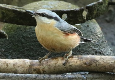 Nuthatch, 21st April