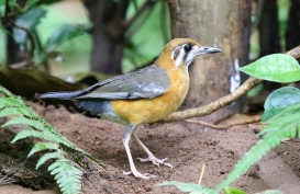 ORANGE HEADED THRUSH 2ED
