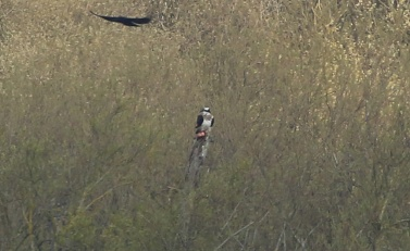 Osprey, Rockland Broad, 16th April