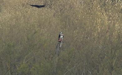 Osprey, Rockland Broad, 16th April
