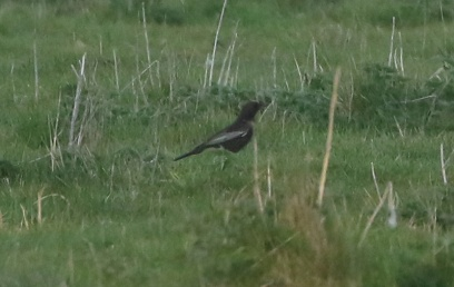 Ring Ouzel, Cockley Cley, 21st April