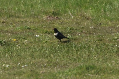 Ring Ouzel, Holme,19th April