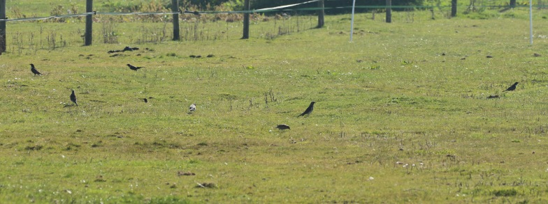Ring Ouzels and Fieldfare, Holme,19th April
