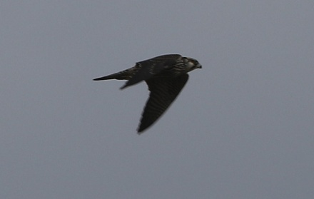 Peregrine, East Hills, 5th October