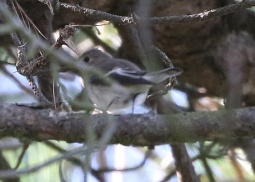 Pied Flycatcher, East Hills, 8th September
