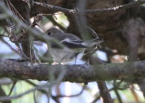 Pied Flycatcher, East Hills, 8th September