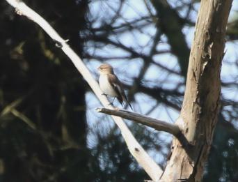 Pied Flycatcher, Holme,19th April