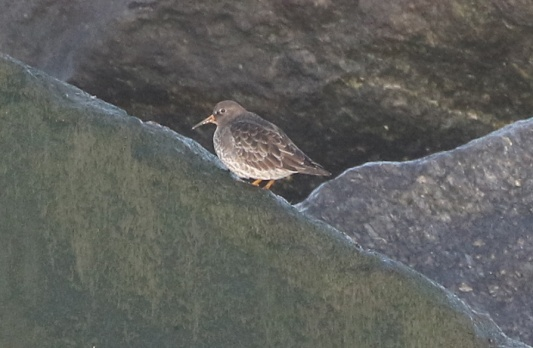 Purple Sandpiper, Waxham