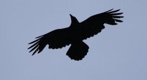 Raven, 6th May