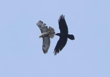 Raven, Norfolk 5th April